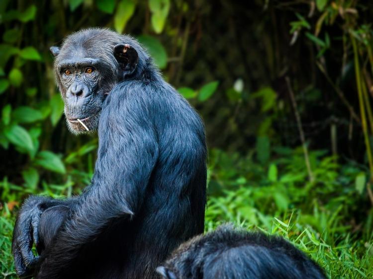 chimpanzee-1545010_1280